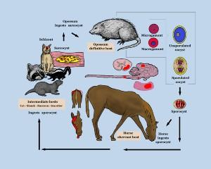 Mammal Life Cycle Image