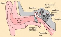 Mammal Three Bones in Middle Ear Picture
