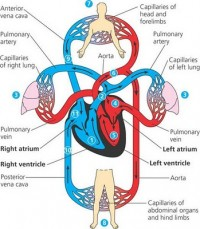 Mammals Circulatory System Picture