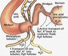 Mammals Excretory System Image