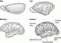 Mammals Neocortex Photo