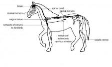 Mammals Nervous System Photo