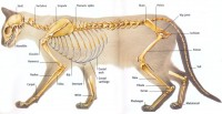 Mammals Skeletal System Picture