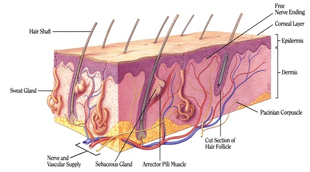 Mammals facts characteristics anatomy and pictures mammals skin picture ccuart Gallery