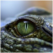 Reptile Eye Photo