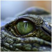 Reptile Eye Photo