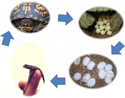 Reptile Life Cycle Image