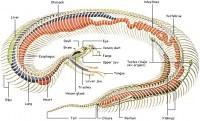 Reptile Circulatory System Image