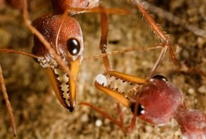 Bulldog Ant Picture