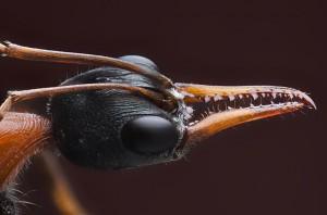 Bulldog Ant Head Image