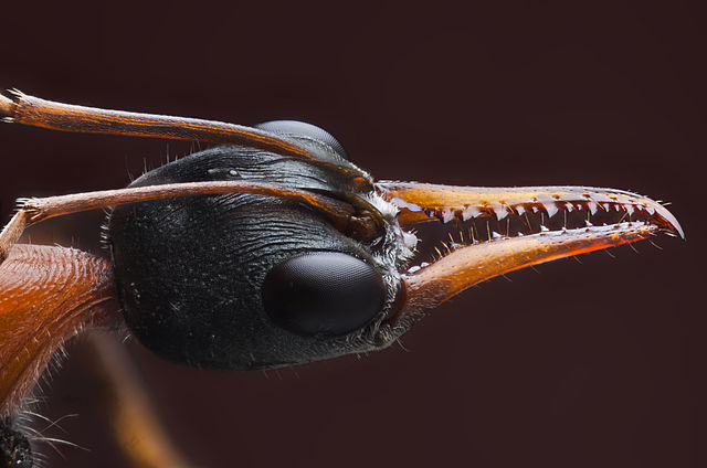 Bulldog Ant Head Image...