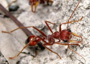 Images of Bulldog Ant