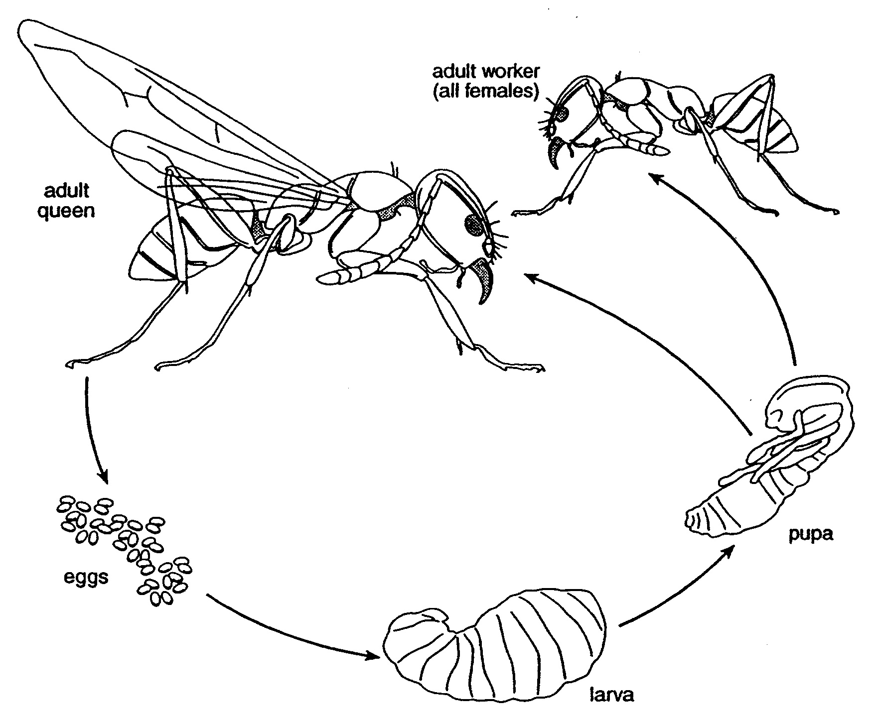 Bulldog Ant Life Cycle...
