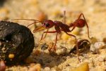 Pictures of Bulldog Ant
