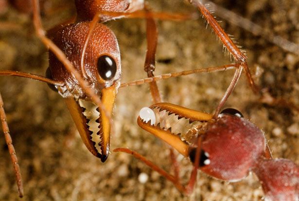most-dangerous-ants-in-the-world-bulldog-ant-इस चींटी के काटने से होती है इंसान की मौत