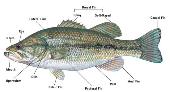 Fishes facts characteristics anatomy and pictures for Facts about fishing