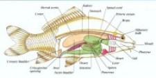 Fish Circulatory System Photo