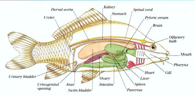 Microscope Drawing Worksheet Fishes - Facts, Charac...