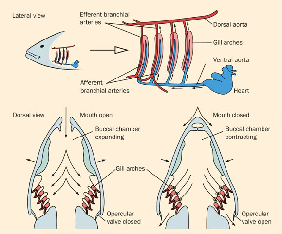 Fishes Facts Characteristics Anatomy And Pictures