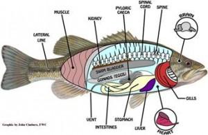 Fish Sensory Organs Picture