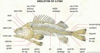Fish Skeletal System Picture