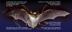 Mammals Aerial Adaptations Photo