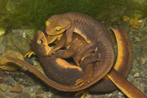 Newt Mating Season Photo
