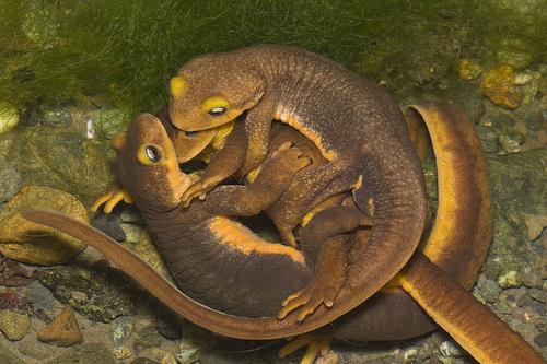 Newt on Animal Life Cycle