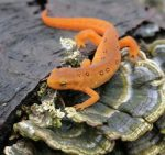 Picture of Newt