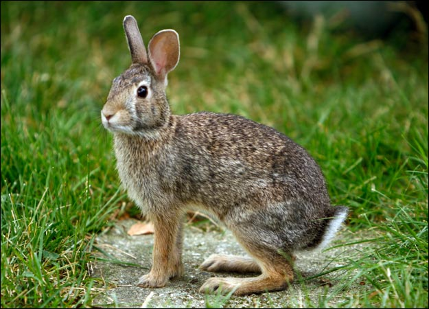 Rabbit - Facts, Description, Food Habits, Pet Care and Pictures