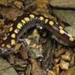 Salamander Picture