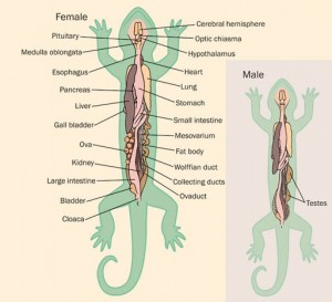 Salamander Anatomy Picture