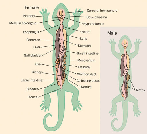 salamander facts habitat life cycle diet and pictures. Black Bedroom Furniture Sets. Home Design Ideas