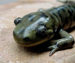 Salamander Head Photo