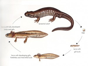 Salamander Life Cycle Photo