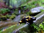 Pictures of Salamander
