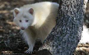 Albino Raccoon Image