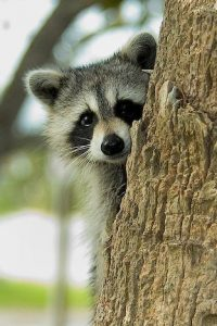 Cute Raccoon Photo