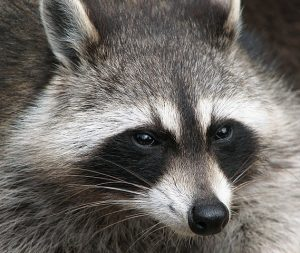 Raccoon Face Photo