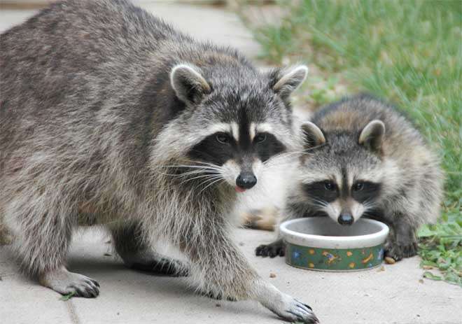 Raccoon - Facts, Pictures, Diet, Habitat, As Pets and Predators