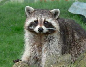 Photos of Raccoon