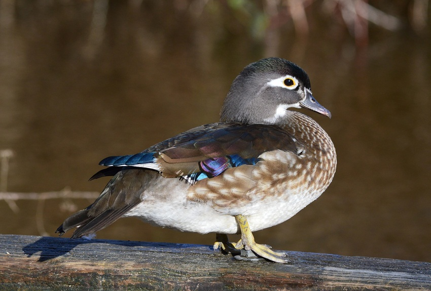 Wood Duck - Facts, Habitat, Diet, Call, Migration and Pictures