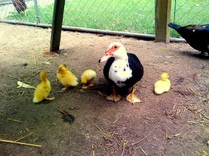 Muscovy Ducks Hatchery Photo