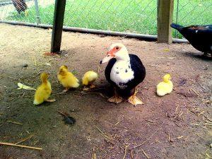 Muscovy Ducks Hatchery Photo