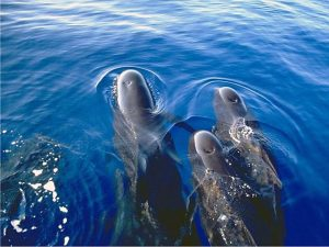 Photos of Pilot Whale Photo