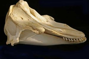 Pilot Whale Skull Photo