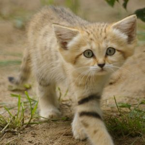 Sand Cat Picture
