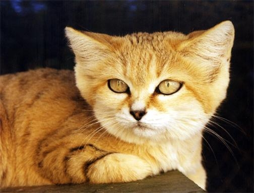 Sand Cat - Facts, Diet, Pictures, Adaptations and Predators