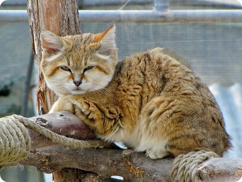 Sand Cat Facts Diet Pictures Adaptations And Predators