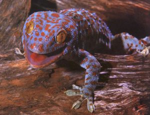 Tokay Gecko Picture